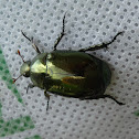 Anomalini Rutelinae Beetle