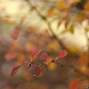 feuilles-jaune-rougejpg