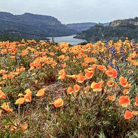 Wildflowers 3 by Richard Michael Lingo - Flowers Flowers in the Wild ( flowers, phoenix, wildflowers, arizona, apache trail,  )