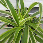 Spider plant (Χλωρόφυτο)
