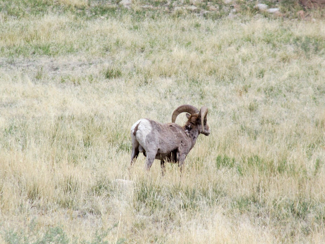 Bighorn sheep near Sunnyside