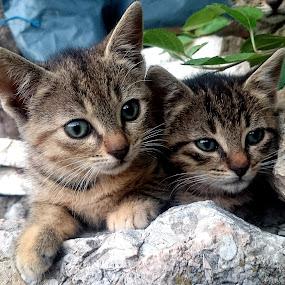 by Alen Poljak - Animals - Cats Kittens