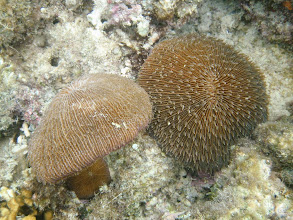 Photo: Fungia repanda (Fungia Coral), Naigani Island, Fiji