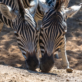 Who is Who. by Pax Bell - Animals Other Mammals ( zebra eating, zebra, minerals )