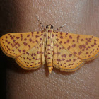 Many-spotted moth