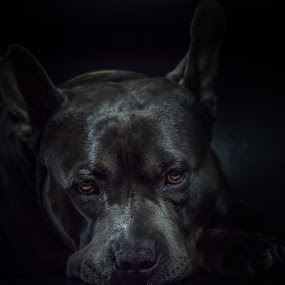 Djongo by Michel Vandermeersch - Animals - Dogs Portraits ( pets, dogs, american bully, portrait, dog, pet )