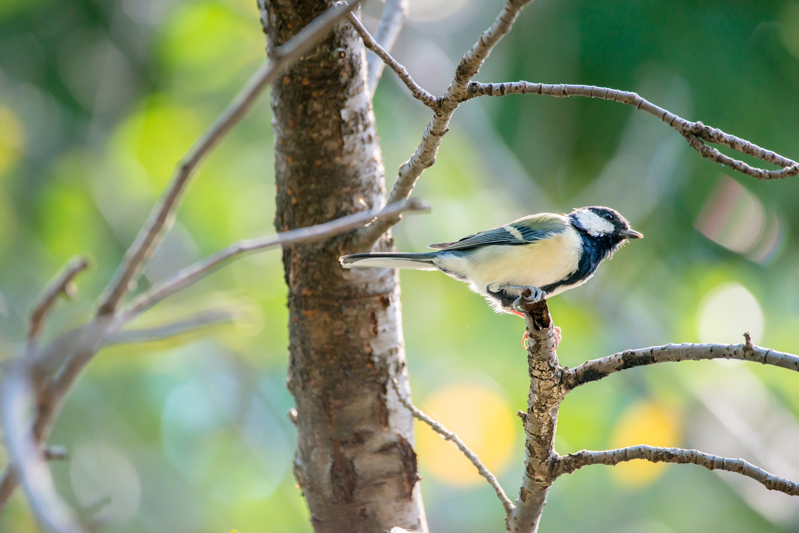 Photo: 光の心地良さ Pleasant shine.  きらりきらりと零れるように 木々の合い間へ光が届く 優しい輝きが感じさせる 安らぎのひととき  Japanese Tit. (シジュウカラ)  #birdphotography #birds  #cooljapan #kawaii  #nikon #sigma   Nikon D800E SIGMA 150-600mm F5-6.3 DG OS HSM Contemporary