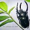 Three Horned Rhinoceros Beetle