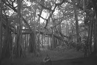 Photo: Adyar Banyan tree.