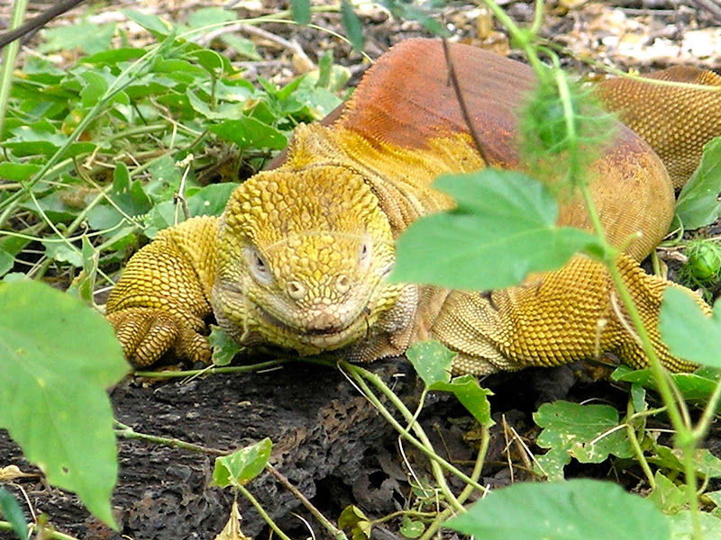 A land iguana, yellowish in color, grows to more than a meter in length in the Galápagos.