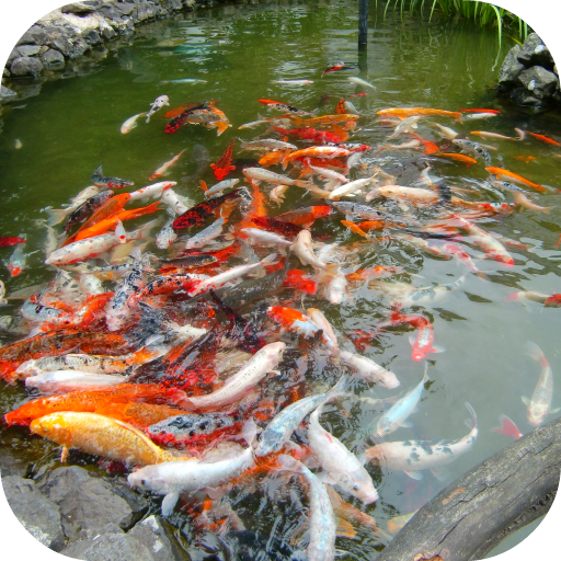 Koi Fish Free LWP file APK for Gaming PC/PS3/PS4 Smart TV