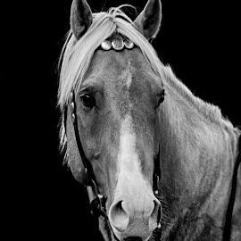 Young Palomino by Christiane Baur - Black & White Animals ( horses, riding, serene, horse, western, paint, animal )