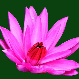 WATER LILLY by SANGEETA MENA  - Flowers Flowers in the Wild