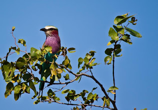Photo: Kruger NP - Lilac-breasted Roller