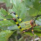 Zoniopoda Grasshopper