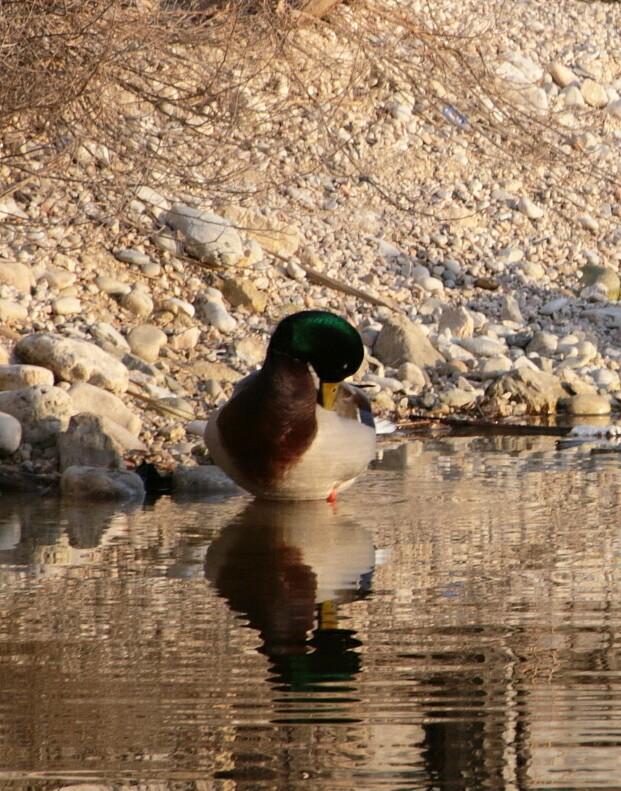 Duck di Giannigiansanti