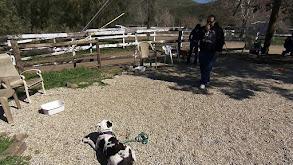 Irish Wolfhound; American Pit Bull Terrier; Gordon Setter; Silky Terrier thumbnail