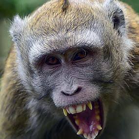 hahhhhhh by Willy Ekariyono - Animals Other Mammals ( primate, willy ekariyono, teeth, indonesia, wildlife )