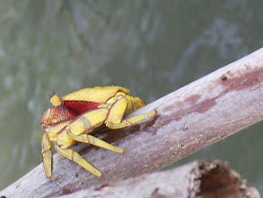 Photo: Ever seen a yellow crab?