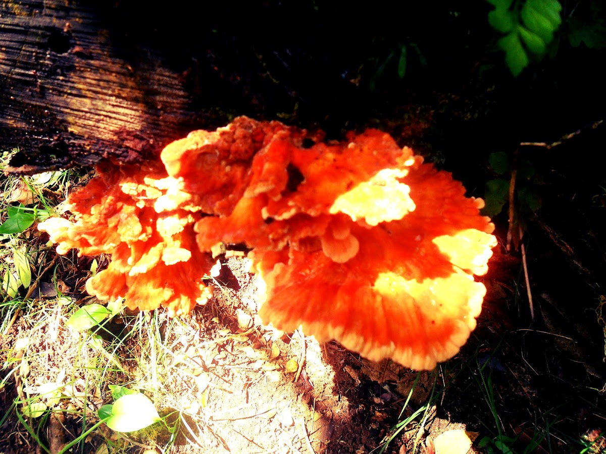 Chicken of the wood