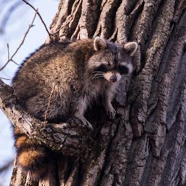 by Lyle Gallup - Animals Other Mammals ( raccoon, nature, tree, animals, wild )