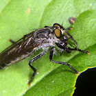Robber fly with prey.