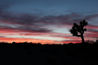 Photo: Joshua tree over colorful sunset