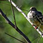 Rolinha-fogo-apagou (Scaled Dove)