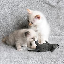 hunter by Marko Rautavesi - Animals - Cats Kittens ( hunter, cat, mouse, kitten, white, birma, feline, cute, birman )