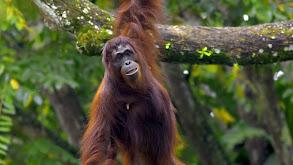 Great Apes thumbnail