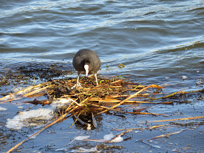 Photo: Priorslee Lake Some Coots hide their nests in the reeds: this bird is using its preposterous feet to stamp down the material in its almost floating nest, built right alongside the dam. The eggs will likely become an easy meal for the ever-watching Magpies. (Ed Wilson)