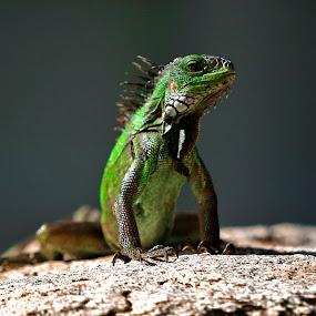 by Jeannette Thalmann-Bendeth - Animals Reptiles (  )