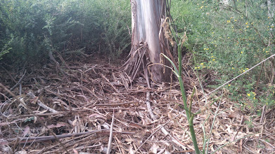 Photo: Not even the Broom grows around the base of the trunk. One lone poison hemlock managed to grow there this spring.