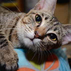 by Azman Jaeh - Animals - Cats Portraits