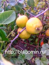 Айва японская,низкорослая.Декоративное растение сада