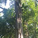 Acariquara-branca