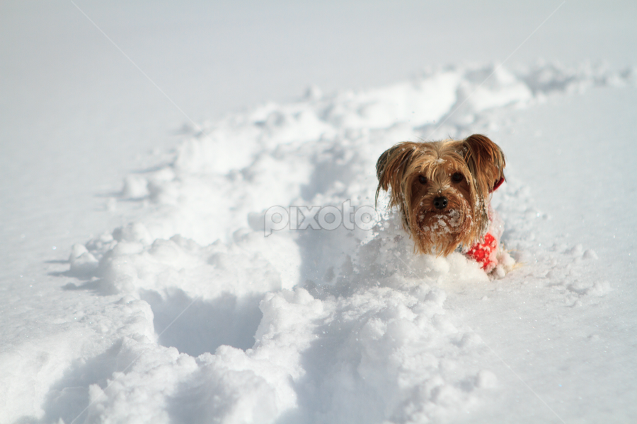 Head North, Dakota by Paul Judy - Animals - Dogs Playing ( playing, winter, snow, terrier, dog )