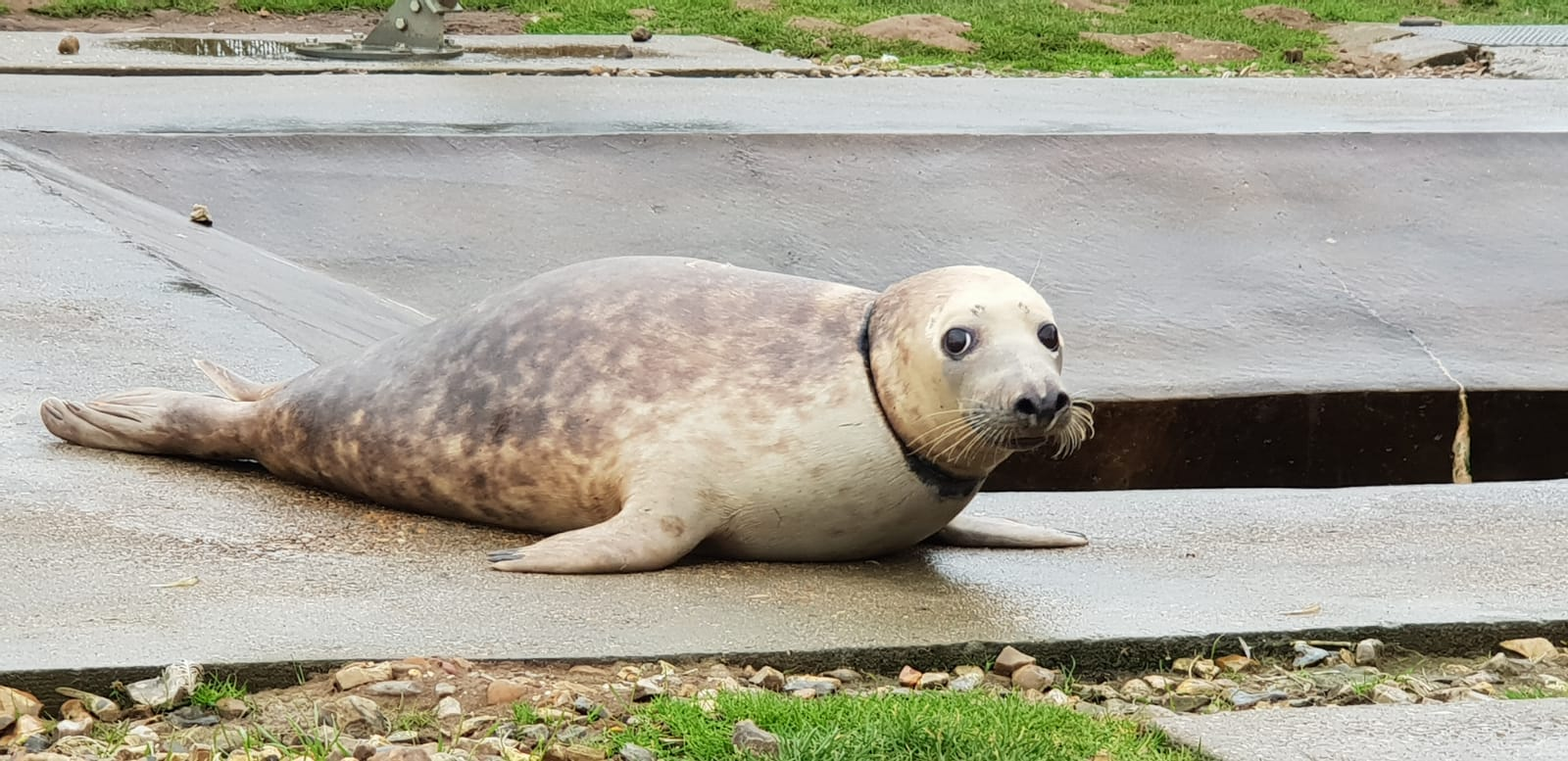 Another Seal Called Pinkafo Who Came Into Rspca Care In December After She Was Found With A Pink Frisbee Embedded Her Neck