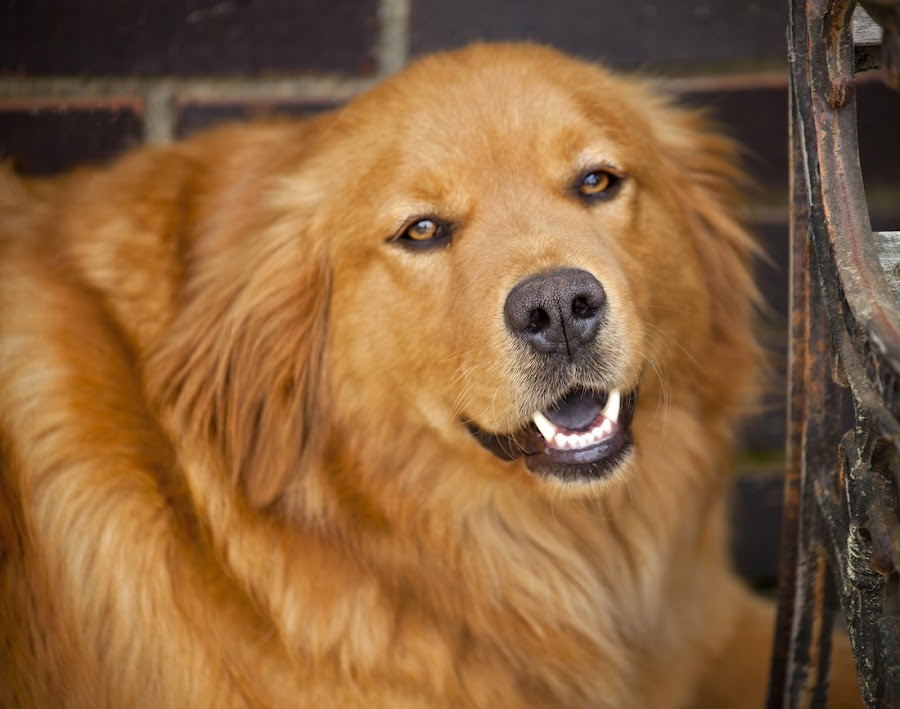 Sweet Smile by Laura Greene - Animals - Dogs Portraits