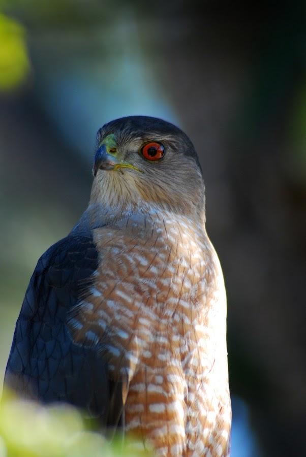 falcon by Chuck Vinson - Animals Birds (  )