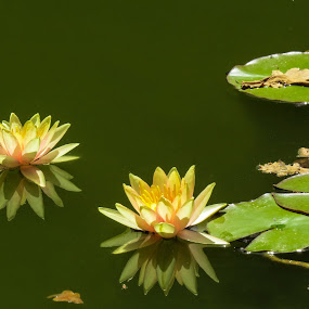 Waterlilies by Theo Collett - Flowers Flower Gardens ( green & yellow, flowers and water, waterlilies, reflections, color photography )