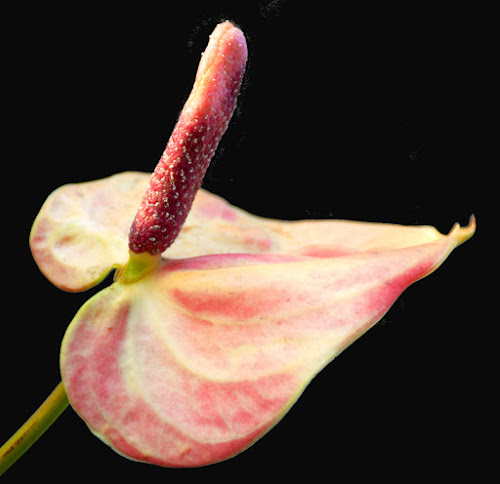 COLOUR PINK by SANGEETA MENA  - Nature Up Close Other plants