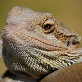 Puff Dragon by Janet Gilmour-Baker - Animals Other ( animals, saskatchewan, pets, dragon, bearded dragon, puff, puff the magic dragon,  )