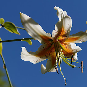 Airolo, Ticino, Switzerland by Serguei Ouklonski - Flowers Single Flower ( sky, flowers, outdoors, nature, season, flower )