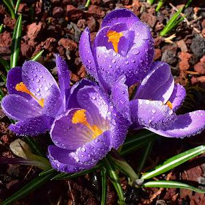 Crocus first flower of Spring 205.JPG