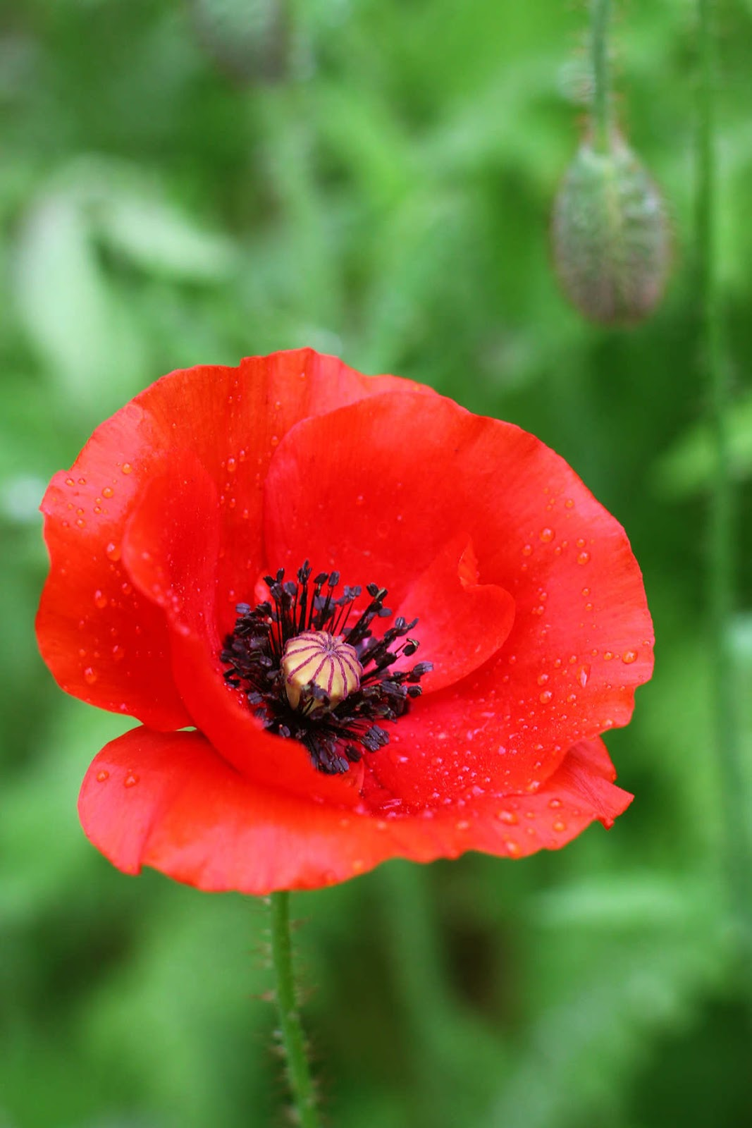 Flowers poppy backgrounds and wallpapers poppy poppy № 34252