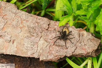Photo: Wolf spider with egg sac. photo by: Michael Elenko