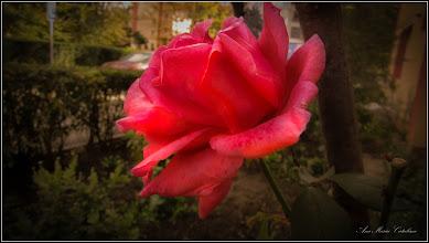 Photo: Trandafir (Rosa) - de pe Calea Victoriei, B15, spatiu verde - 2017.10.10