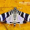 Lypotigris reginalis