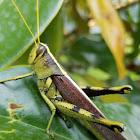 obscure bird grasshopper